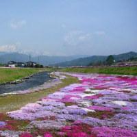 アルプス 微笑み 農具川の芝桜 (菜人)