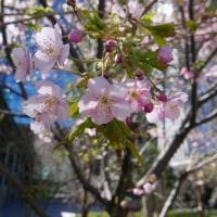 新宿で綺麗に河津桜が咲いていました