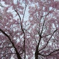 竹田の しだれ桜を見に行く