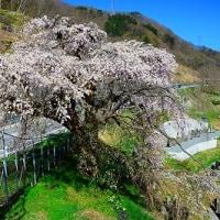 諏訪の古木桜を訪ねる2017 番外編