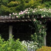 1リットルのお茶・・バラが見ごろの植物園内の様子