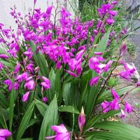 紫蘭 (しらん)が咲いています