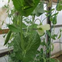 エンドウ豆の収穫。