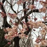 17/03/20  桜と桃の花?が咲いていました。
