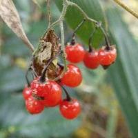 ヒヨドリジョウゴの赤い実