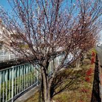 寒緋桜(カンヒザクラ)か