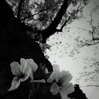 咲く桜・散る桜