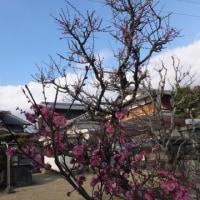 """春は城陽から """"青谷梅林うめまつり"""""""