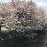 最後の桜~🎶