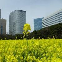 「菜の花」/浜離宮(2017春)