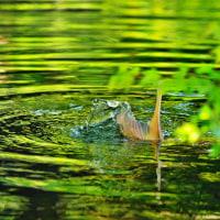 鯉さんの尾びれ