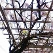 春日部西口の1キロ続く藤棚