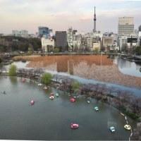 上野東天紅からの桜