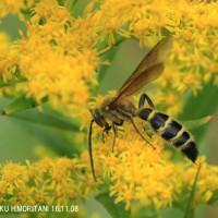 ハラナガツチバチの仲間