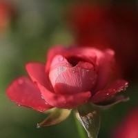花 (ラナンキュラス)
