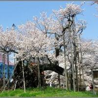 image2357 樹齢二千年-神代桜