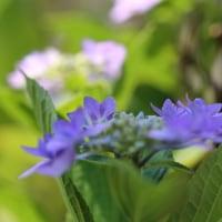 ●我が家の6月の花(6) 紫陽花 コラージュを作りました。 スミダノハナビ(墨田の花火)ヤマアジサイ・城ヶ崎