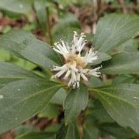 佐渡の花:石花登山口から平城畑:フッキソウの花も咲いています。
