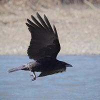 170130-31_越辺川-9 <野鳥>