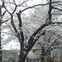 桜も・・・