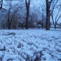 ★3月末のあがたの森の雪景色と咲き始めた木瓜に乗る重い雪 2017(1)