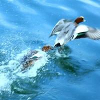 鴨の喧嘩in大津市