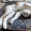 トリちゃん日記_招き猫の昼寝