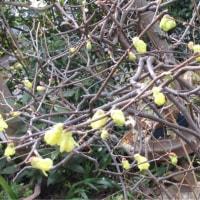 春蘭が咲いた