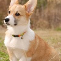 犬のクッシング病  副腎皮質機能亢進症とは ?その 2