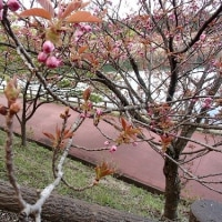 CB250エクスポート 散歩道の花・日光市4月24日早朝