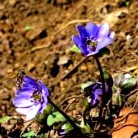 メモ帳716ページ目 春を待ちわびた花達