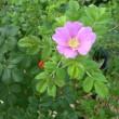 ハマナスの花が
