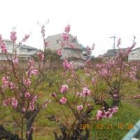 1週間ぶり 梅を見に行きました 満開近し(?)