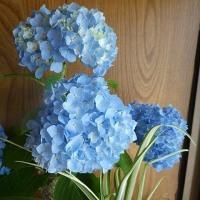 6月22日(木曜日)「紫陽花」(てまりさん)