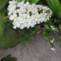 庭に咲いている紫陽花や百合(友人投稿)