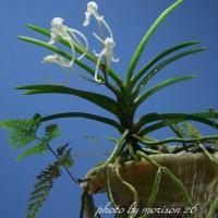山採りフウランの貝殻付けの花