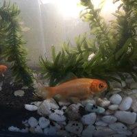 金魚の水槽作り