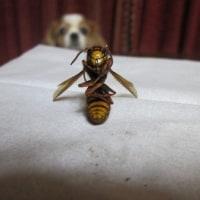ジッちゃんvsスズメバチ&小林麻央さん 鏡に映る自分が衝撃過ぎて涙
