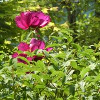 豪華に咲いているシャクヤク