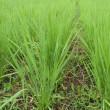 自然農 お米づくり七月 分けつ期