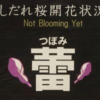 六義園枝垂れ桜 蕾