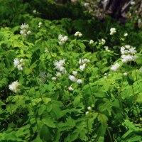 ミヤマカラマツ(深山唐松)が咲き始めました(萩の里自然公園)