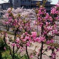 春の嵐で桜の花びらハラハラ~~~春の花~~~