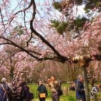 本日の京都御苑の糸桜(3/30)見頃近づく。