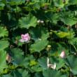 伯耆古代の丘公園は蓮の季節
