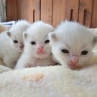 3月15日生まれのラグドールの赤ちゃん達=^_^=