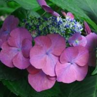 御神苑の紫陽花