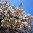 桜を見ながらシューベルトの交響曲を聴く