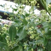 ヤマトシジミ蝶・虻・蜂と花