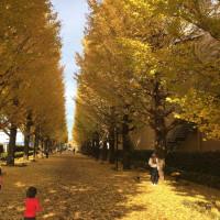 昭島の銀杏並木